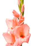 Beautiful Gladiolus. Stock Photos