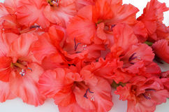Beautiful gladiolus. Corrugated, pleated, scarlet gladiolus in a white background Stock Images