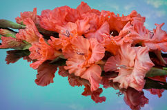 Beautiful gladiolus Stock Image