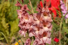 Beautiful gladiolus flower. In the countryside stock photos