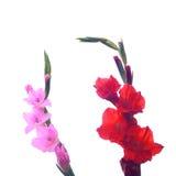 Beautiful Gladiolus flower isolate on white background Royalty Free Stock Images