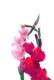 Beautiful Gladiolus flower isolate on white background Royalty Free Stock Image