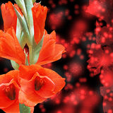 Beautiful Gladiolus Stock Images