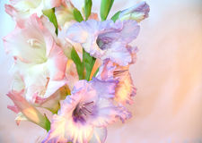 Beautiful gladioluses. Branch of gladioluses pink and lilac on a light background Royalty Free Stock Photography