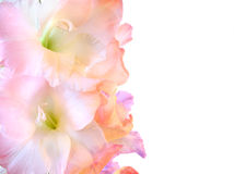 Beautiful gladioluses on white. Branch of gladioluses pink and lilac with two blossoms close up on the top. It is isolated on a white background Stock Images