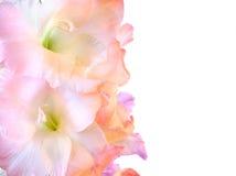 Beautiful gladioluses on white Stock Images