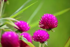 Beautiful globe amaranth flower fresh in nature stock photography