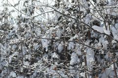 Beautiful glowing shrub branches covered with a thin layer of icicles. Beautiful glowing in the sun branches of the Bush covered with a thin layer of ice royalty free stock image