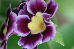 Beautiful gloxinia flower on a green meadow. Stock Photos