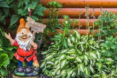 A beautiful gnome garden figure and green and white leaves of hosta plants with blue flowers on a brown wooden stock photography