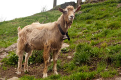 Beautiful goat in swiss countryside. Adorable goat in swiss countryside Royalty Free Stock Photo