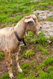 Beautiful goat in swiss countryside. Adorable goat in swiss countryside stock photos