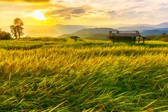 Beautiful gold color sunset at rice field, rice terace. N stock photos