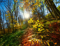Beautiful gold fall in forest. Royalty Free Stock Photos