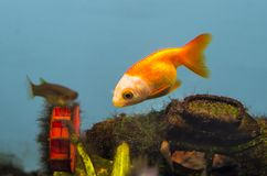 Beautiful gold fish Stock Photo