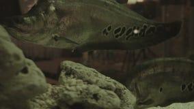 Beautiful gold fish swim in the Aquarium stock video