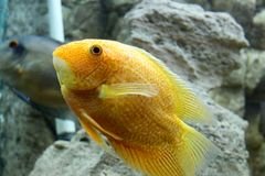 Beautiful gold sea fish swims in the aquarium royalty free stock image