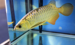 Beautiful golden arowana Stock Photo