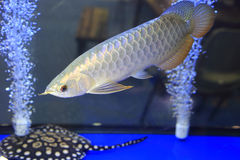 A beautiful golden arowana Stock Photo