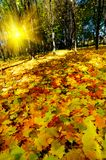 Beautiful golden autumn in the forest. Royalty Free Stock Image