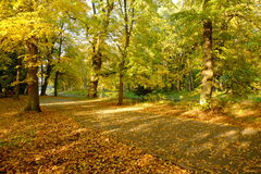 Beautiful golden autumn forest. Beautiful golden sunlit autumn forest path scene with a layer of fallen tree leaves Stock Photo