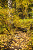 Beautiful golden autumn forest Royalty Free Stock Photography