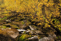 Beautiful golden autumn forest Stock Images