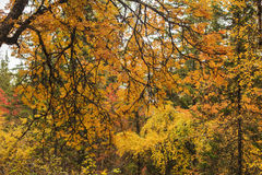 Beautiful golden autumn forest Royalty Free Stock Image