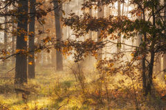 Beautiful golden autumn forest Stock Image