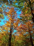 Beautiful golden autumn in the forest. Yellow leaves on trees and blue sky stock photo