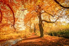 Beautiful, golden autumn scenery. With trees and golden leaves in the sunshine in Scotland royalty free stock photos
