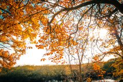 Beautiful, golden autumn scenery with trees and golden leaves. In the sunshine in Scotland royalty free stock image