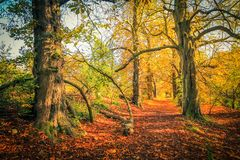 Beautiful, golden autumn scenery with trees and golden leaves. In the sunshine in Scotland stock images