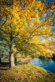 Beautiful Autumn in the Park, Scotland. Beautiful, golden autumn scenery with trees and golden leaves in the sunshine in Scotland stock image