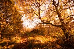 Beautiful, golden autumn scenery with trees and golden leaves in the sunshine in Scotland royalty free stock photos