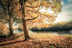 Golden Autumn Trees at the river in Scotland. Beautiful, golden autumn scenery with trees and golden leaves in the sunshine in Scotland stock photos
