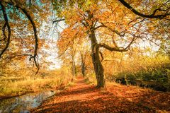 Golden Autumn Trees at the river in Scotland. Beautiful, golden autumn scenery with trees and golden leaves in the sunshine in Scotland stock photography