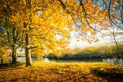 Beautiful, golden autumn scenery with trees and the river. Beautiful, golden autumn scenery with trees and golden leaves in the sunshine in Scotland stock images