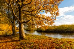Beautiful, golden autumn scenery with trees and the river in the sunshine in Scotland. Beautiful, golden autumn scenery with trees and golden leaves in the royalty free stock images