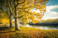 Beautiful, Golden Autumn Scenery With Trees And Golden Leaves In The Sunshine In Scotland Stock Image