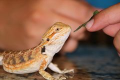 Feeding a Bearded Dragon. A beautiful golden bearded dragon is being fed a small leaf from a child`s finger royalty free stock image