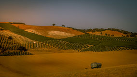 Beautiful golden cornfield at sunset Stock Photo