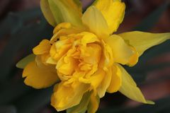 A beautiful golden daffodil. Various common names including daffodil, daffadowndilly, narcissus, and jonquil are used to describe all or some members of the royalty free stock photography