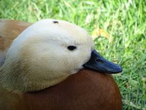 Beautiful Golden Duck with a Fly on head royalty free stock photography