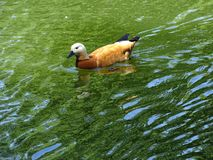 Beautiful Golden Duck swimming in the green lake water royalty free stock photography