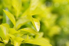 Beautiful golden duranta leaves pattern Stock Photo