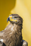 beautiful golden eagle, detail of head with large eyes, pointed Royalty Free Stock Photos
