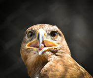 Beautiful Golden eagle portrait Royalty Free Stock Images