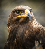 Beautiful Golden eagle portrait Royalty Free Stock Photos