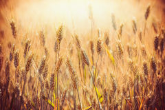Beautiful Golden ears of wheat  on Cereal field in sunset light background, close up. Agriculture farm Royalty Free Stock Image